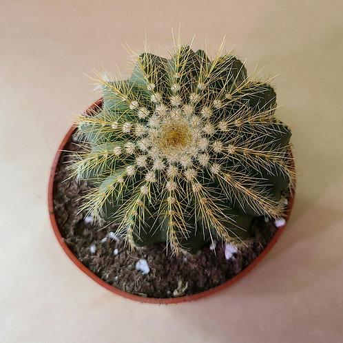 """4"""" Golden barrel cactus 🌵(Echinocactus grusonii,)"""