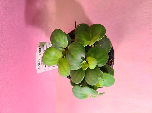 "4"" peperomia hope (Peperomia tetraphylla)"