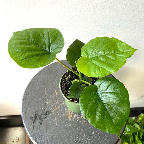 """4"""" Ficus Umbellata"""