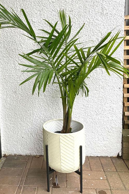 3.5 ft tall Majesty Palm 🌴