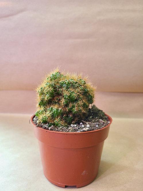 """4"""" cereus peruvianus camelot🌵cactus"""