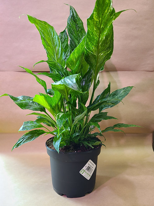 """6"""" peace lily domino"""