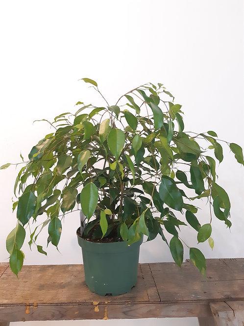 """8""""Ficus benjamina"""