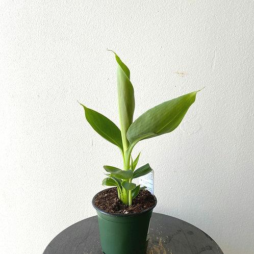 """4"""" Banana blood (Musa acuminata)"""