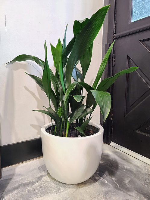 2.5 ft tall Cast iron plant (compact)