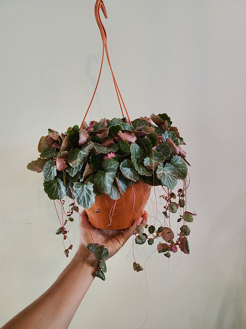 "6"" strawberry Begonia"