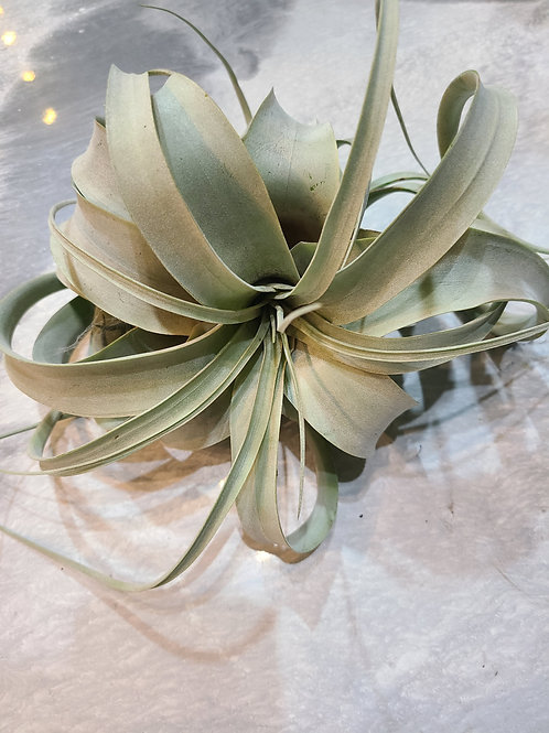 Large air plant (xerpgraphica)