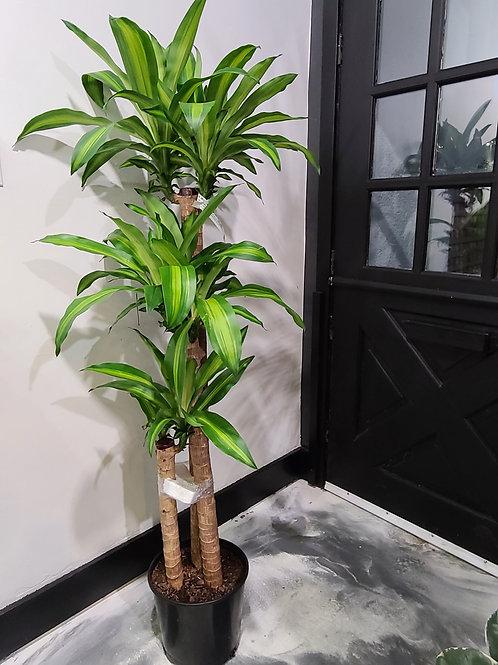 5 ft tall Dracaena corn cane