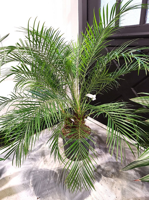 3.5 ft tall pygmy date palm