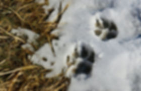 Labrador Retriever paw prints in the snow while pheasant hunting in South Dakota Rushmore Gun Dogs