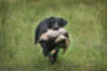AKC black Labrador Retriever holding a mallard dck at an HRC hunt test or duing training