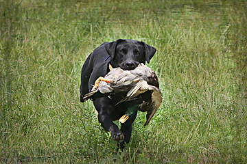 AKC black Labrador Retriever holding a mallard dck at an HRC hunt test or duing training