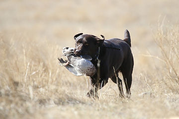 AKC American Kennel Club registered chocolate lab carrying a duck during hunt test training HRCH