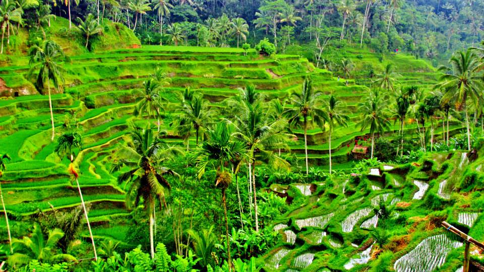 Southeast Asia Itineraries - Southeast Asia Tours - Terraced rice paddies outside Ubud, Bali, Indone