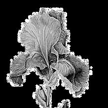 Iris%202_edited.png