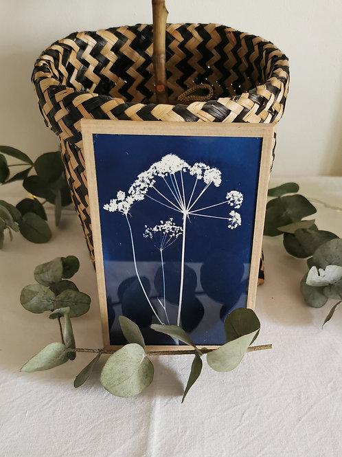 Cyanotype encadré Fleur de Carotte