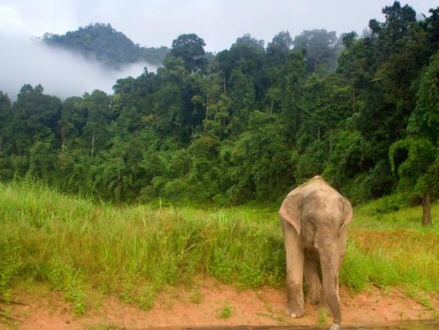 elephant at khao sok