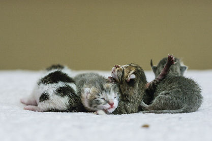 A-group-of-newborn-kittens.jpg