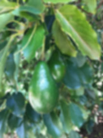 Avocados growing on tree