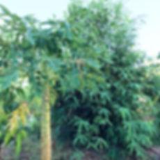 Papaya and bamboo growing in desert