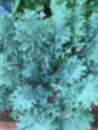 blue kale growing in arizona