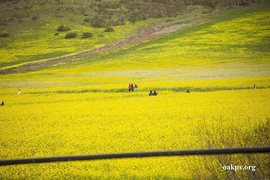 Mustard Flower Super Bloom.jpeg