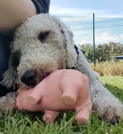 Charlie the Bedlington Terrier in a Canine Thinking Behaviour Session