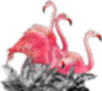 flamants_roses