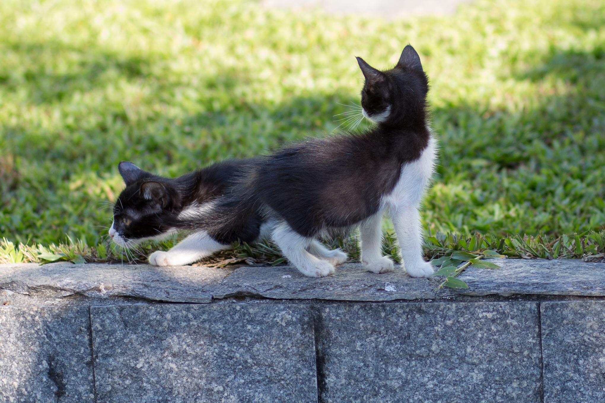 O Temível Gato de Duas Cabeças