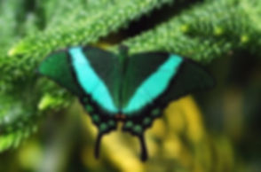 close-emerald-machaon-butterfly-on-260nw