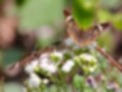 Mangrove Buckeye, North Carolina -  October 2015 (1)_edited.jpg