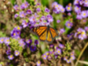 Monarch Butterfly, Raleigh -  November 2
