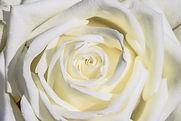 white-rose-3170283.jpg