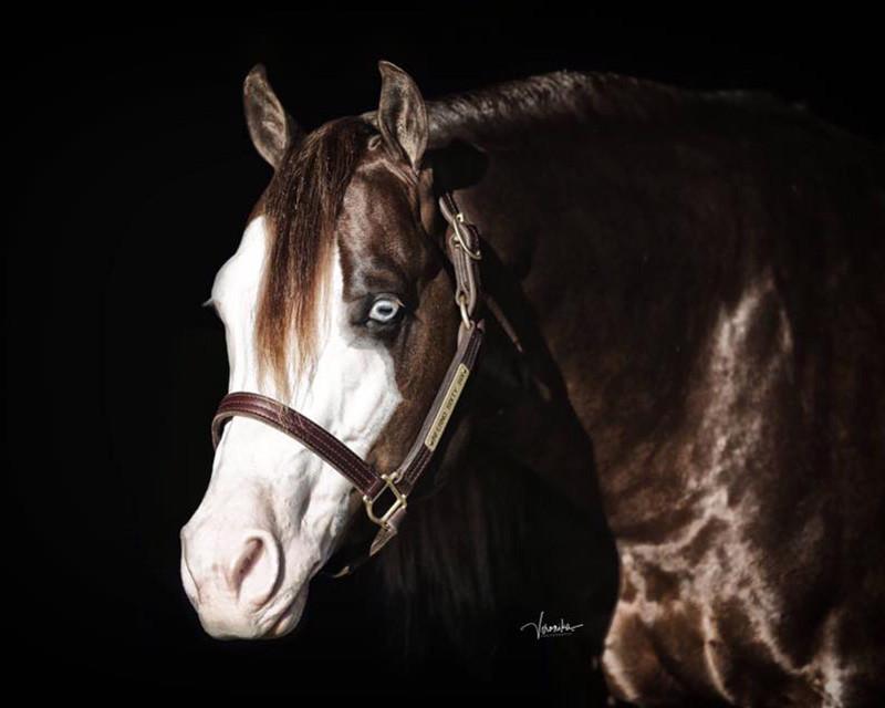 inferno-sixty-six-breeding-stallion-head