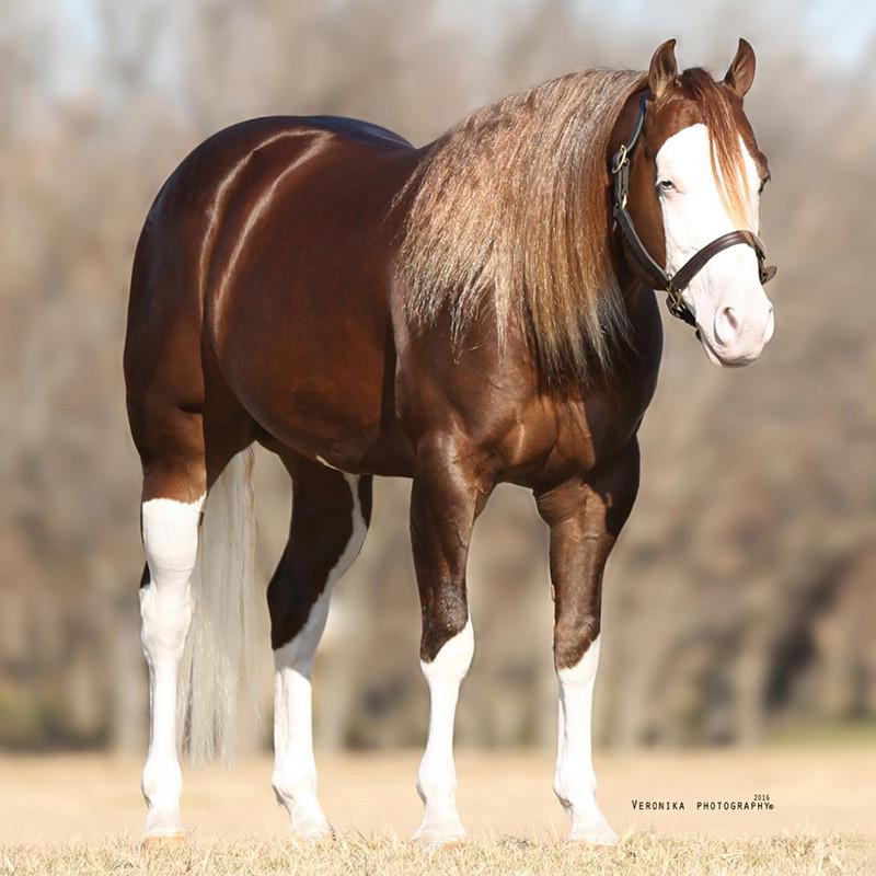 inferno-sixty-six-breeding-stallion-full