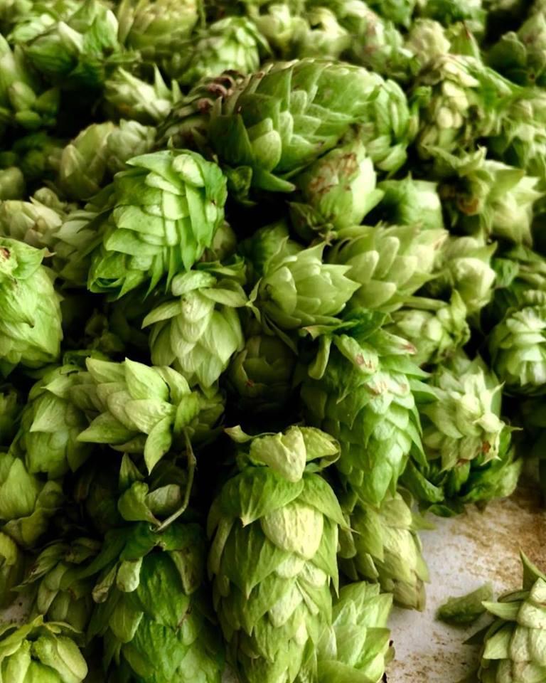 Fresh hop harvest..