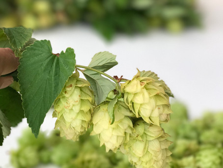 Summer in the Hop Yard 2017
