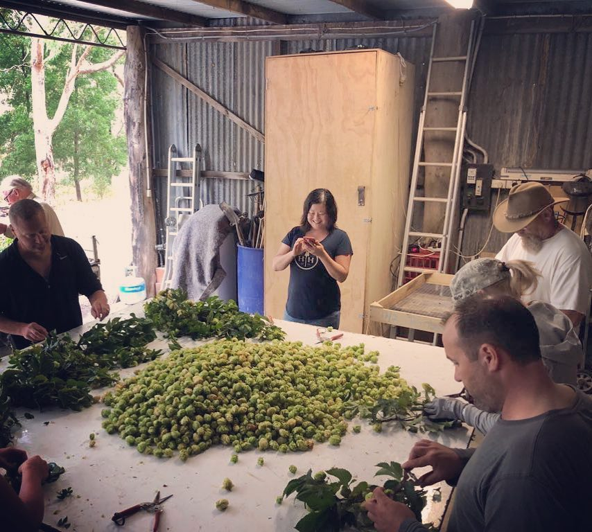 Harvesting Perle hops for Yi P.I