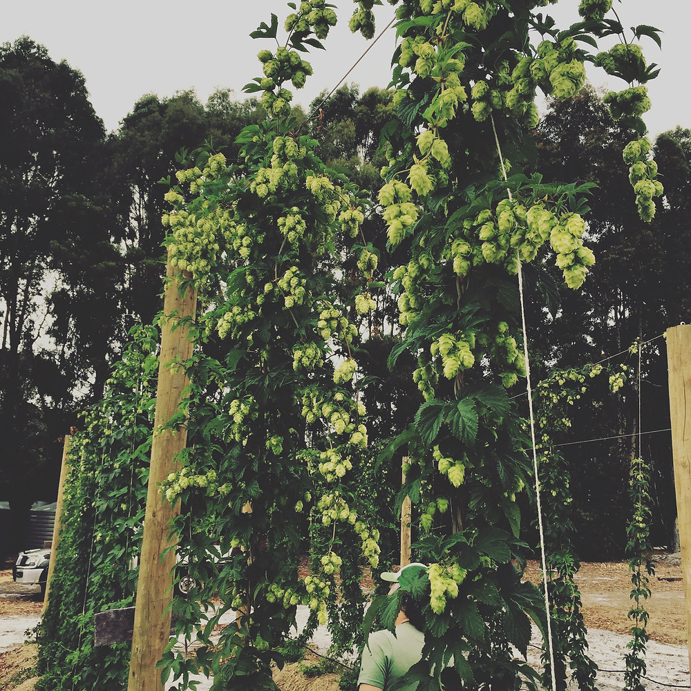 We had our first hop harvest in early 2016.