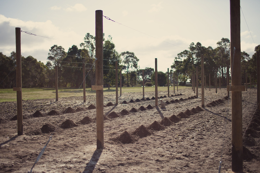 Once the hop yard was constructed we planted our new rhizomes.
