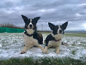 Max & Poppy, two border collies lying in a snowy garden