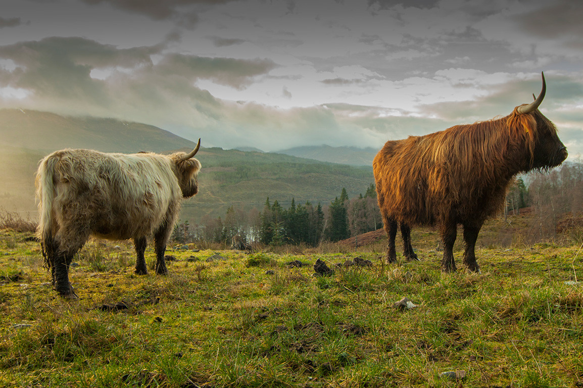 Highland cattle at sunset
