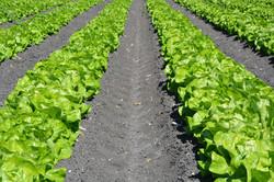 lettuce-1841273