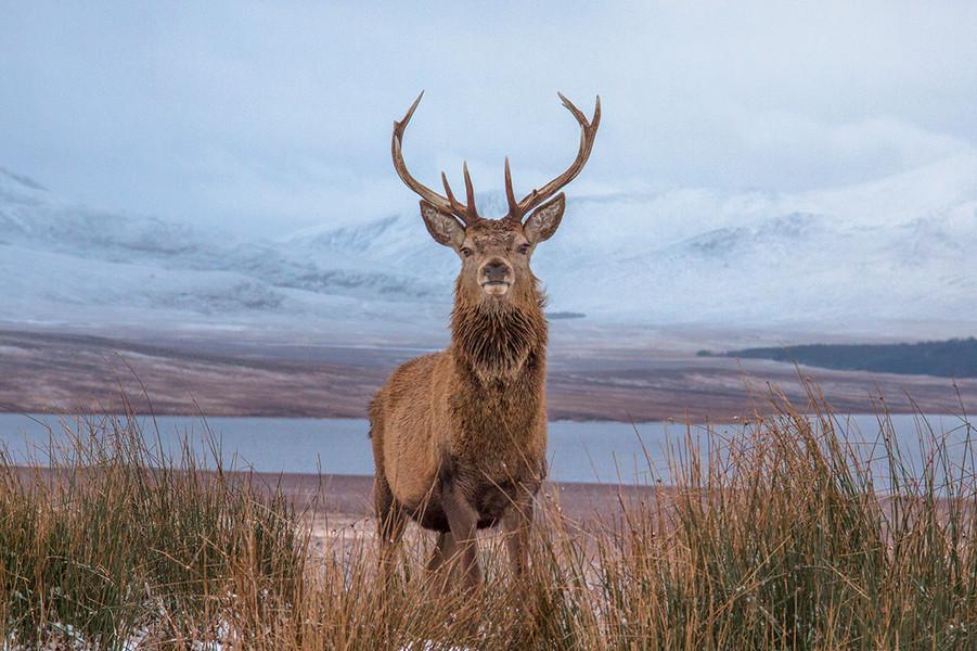 Red stag at Kinbrace, Highlands