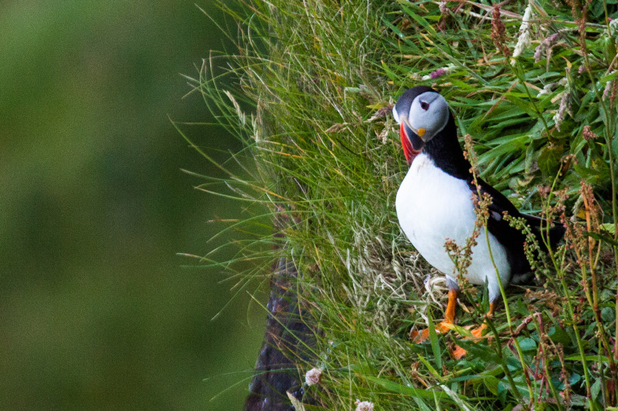 Puffin time on Dunnet Head!