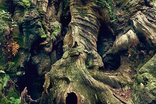 great growth「来宮神社の大楠-横-」
