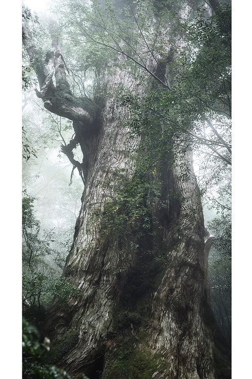great growth「大王杉」