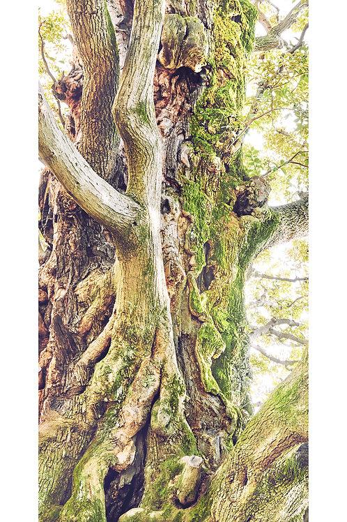 great growth「旧細川邸のシイ」