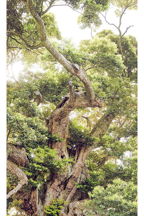 great growth「称名寺のシイノキ」