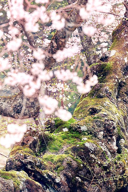 great growth 「淡墨桜」